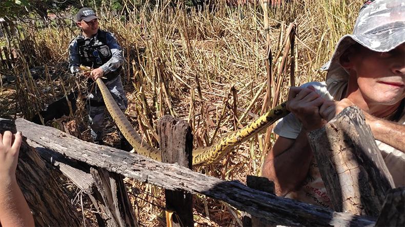 Sucuri de 3,5 metros é capturada em quintal de casa no Bacurizeiro, em Altos